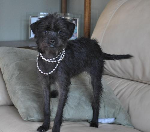 affenpinscher with long legs and necklace