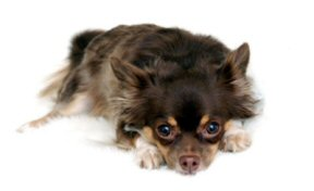 longhaired black and tan chihuahua laying with head on paws.