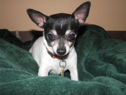 black and white chihuahua puppy looks sad