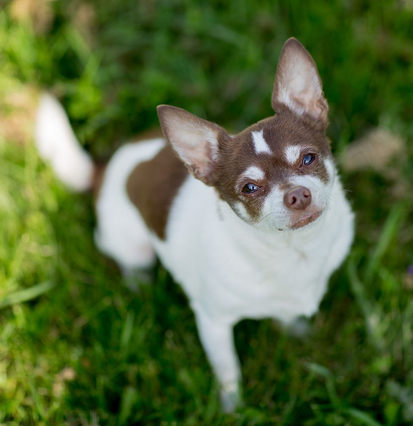 brown and white chihuahua with brown liver nose looking up from grass.