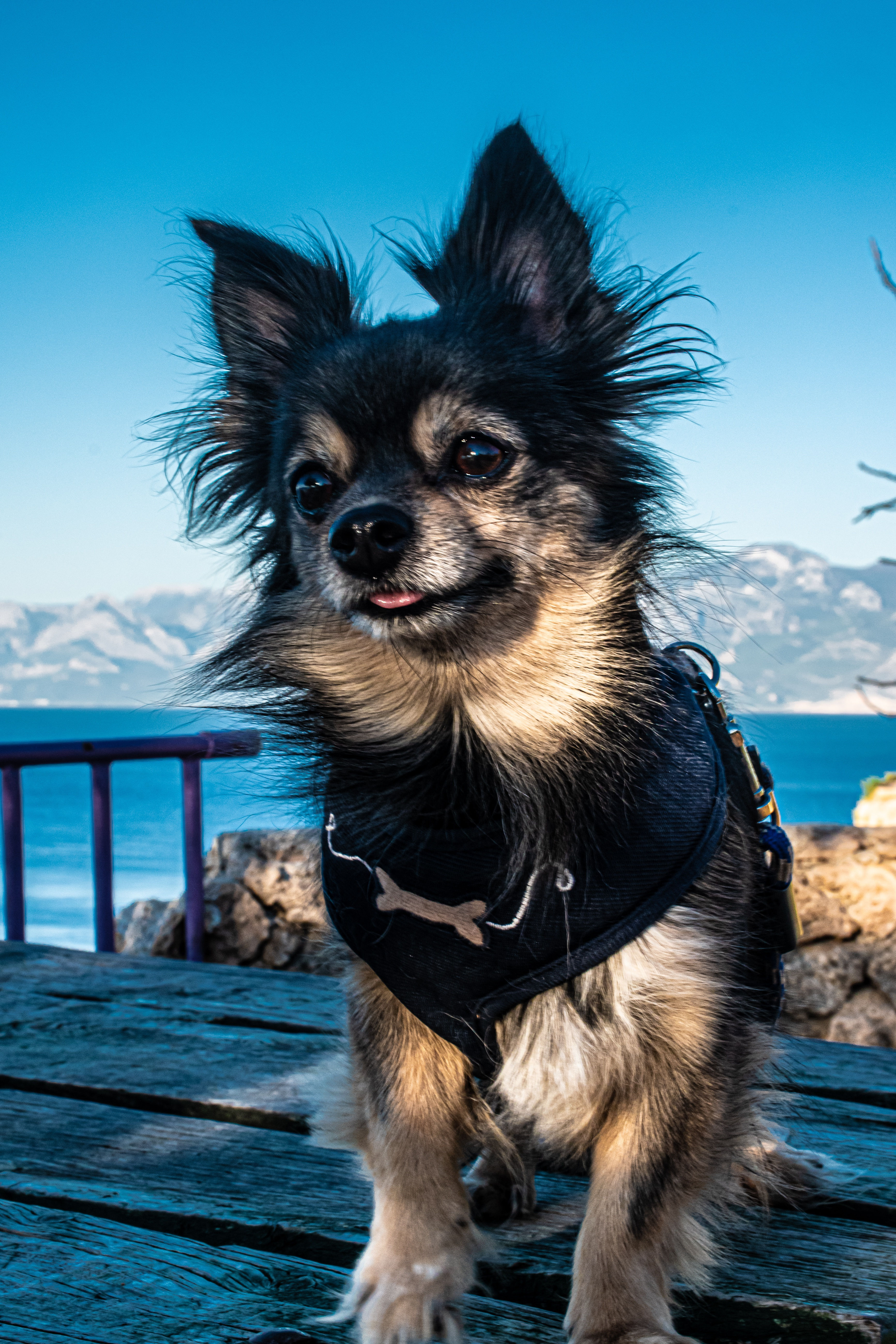 Black, brown and white tri colored chihuahua with long hair