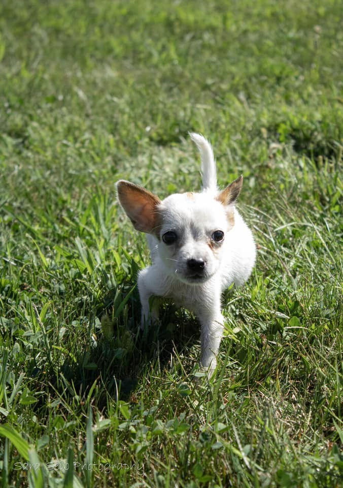 white tiny chihuahua teacup puppy walks through grass
