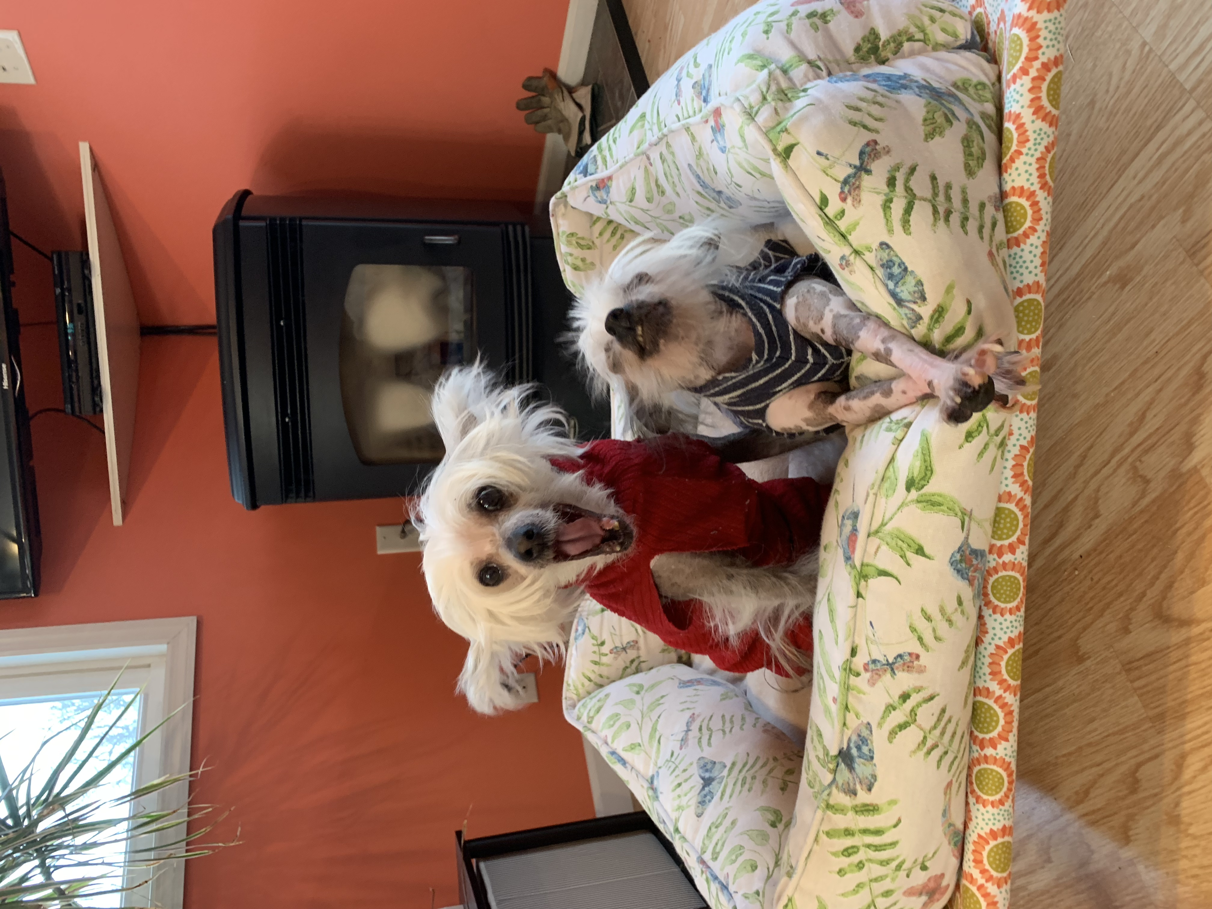 Two Chinese Crested dogs stretching and yawning
