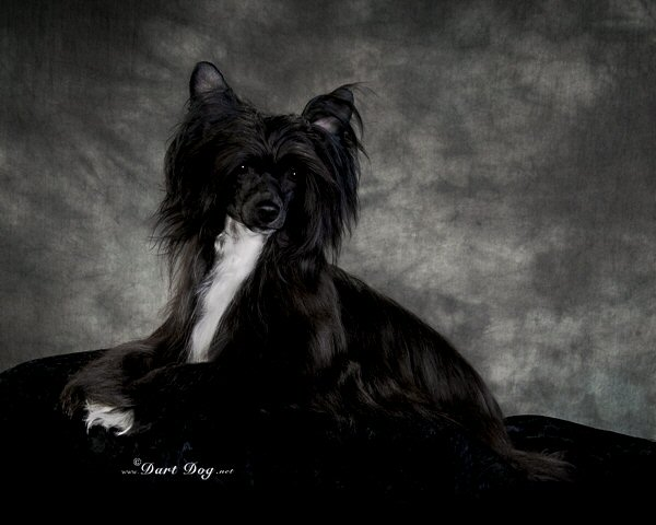majestic powderpuff chinese crested dogs black with white chest