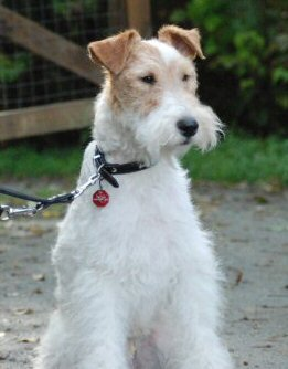 wire fox terrier, fox terrier,