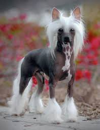 chinese crested shaved hairy hairless or powderpuff with curious look