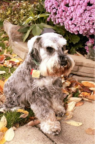 miniature schnauzer, rescue, adoptable