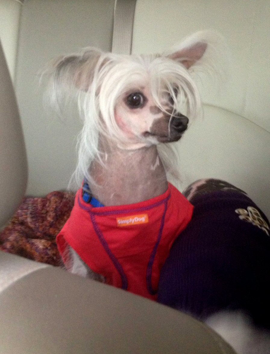 most beautiful hairless chinese crested. not worlds ugliest dog