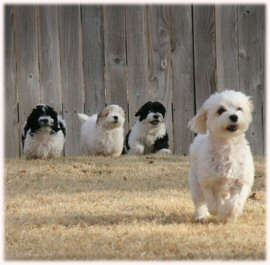 havanese, puppies, puppy, dog