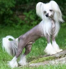 white haired hairy hairless dog