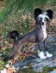 black and white hairy hairless dog