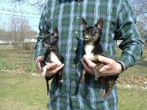 chihuahua, chi, rescue, adoption, jack and jill