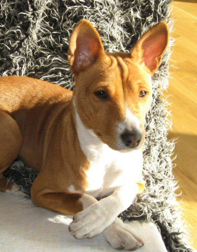 Basenji, photo by: Niko Herlin