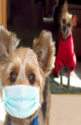 Yorke with allergies wearing surgical mask and curious Chinese Crested