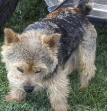 Norwich Terrier dog standing in grass  and looking down. Photo by: JustChaos Aka Jean
