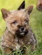 Norwich Terrier, puppy