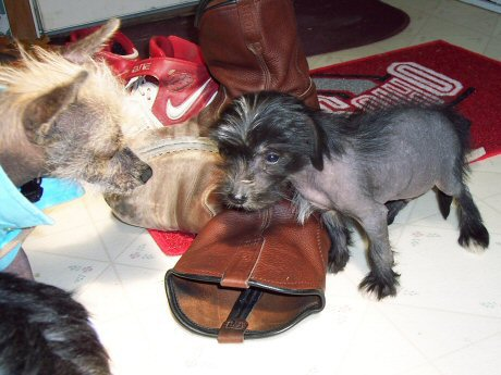 black hairless chinese crested