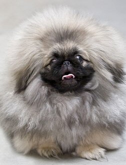 pekingese awww the pekingese who couldn t love a face like that well