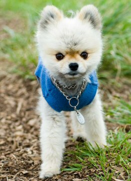 pomeranian, puppy, shirt
