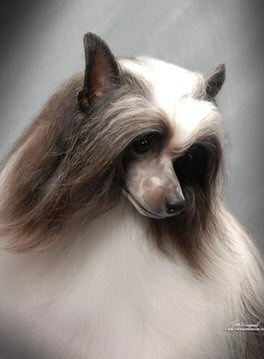 chinese crested, powderpuff, non shedding, hypoallergenic, dog, standing, looking right, pretty dog