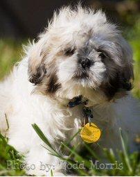 shih tzu, puppy, grass, photo by: Todd Morris