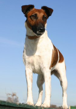 smooth fox terrier, fox terrier, standing, alert