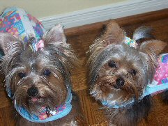 yorkies, Yorkshire Terriers