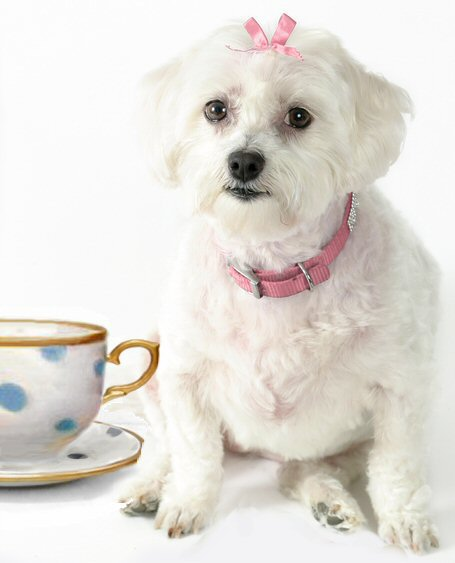 brussels griffon, teacup puppies, teacup puppy, black, dog, white background
