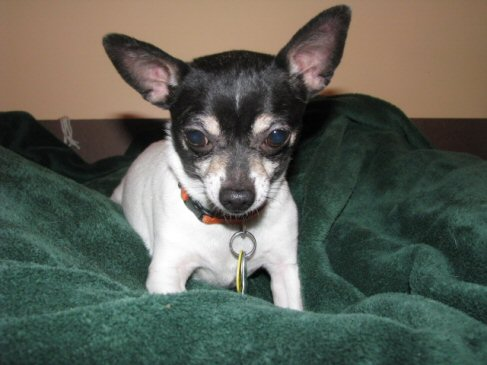 chihuahua, chi, rescue, adoption