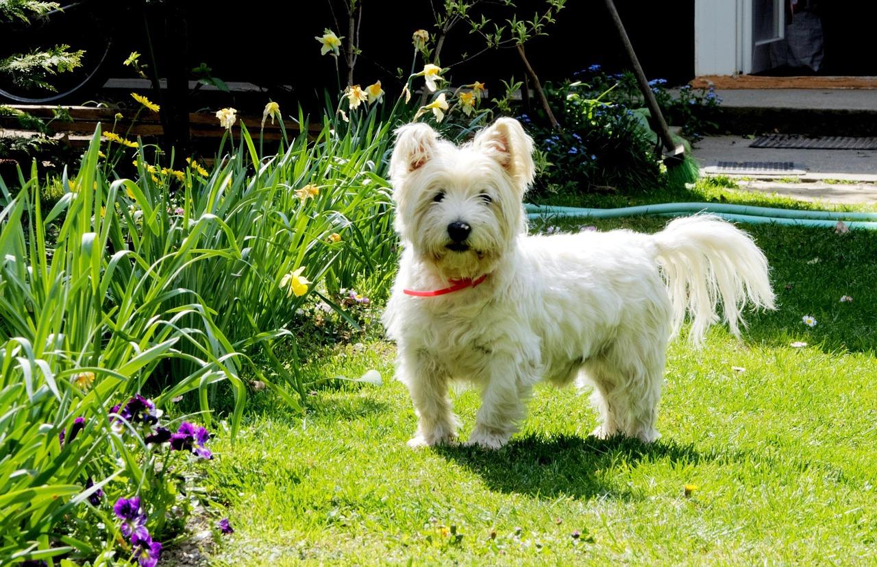westie standing in grass