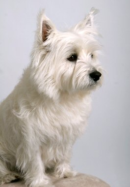 Westie, West Highland Terrier