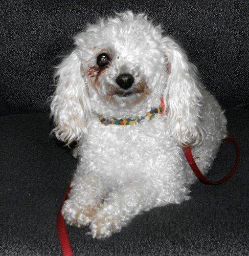 cocker spaniel, rescue, adoptable