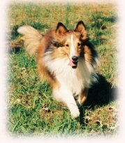 Sheltie, running, shetland, sheepdog, dog