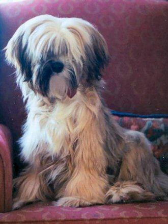 Tibetan Terrier by Lamerie