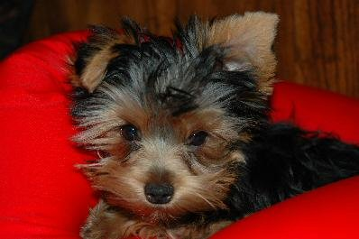 Abby, Yorkshire Terrier, puppy