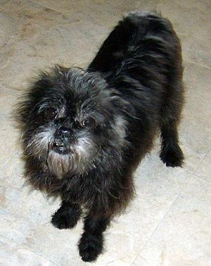Claire is a retired breeder. She's a senior affenpinscher who's now enjoying a soft bed to sleep in and people who love her at Peke A Tzu Rescue! Please consider adoption first.