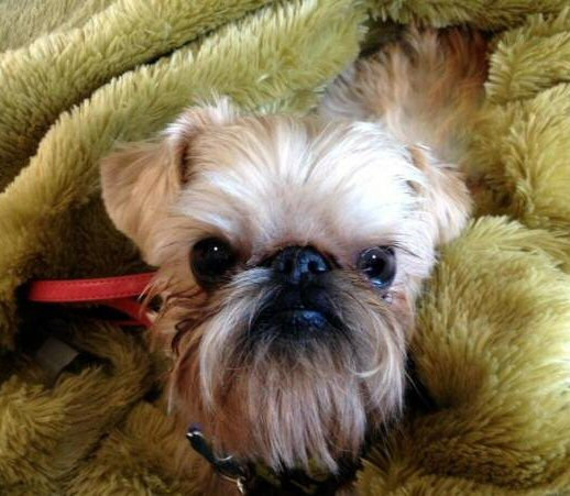 Affengriffon dogs are mixed breeds with any percentage of parent being affenpinscher and Brussels Griffon. Not necessarily 50-50.