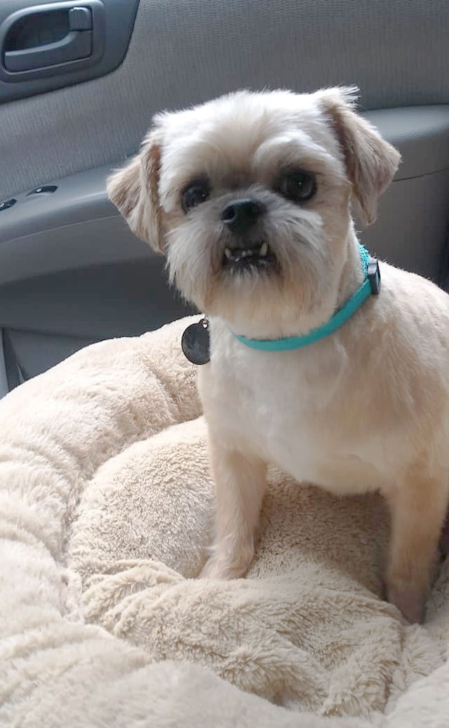 Smooth tan Brussels Griffon dog with underbite