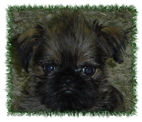 brussels griffon, dog