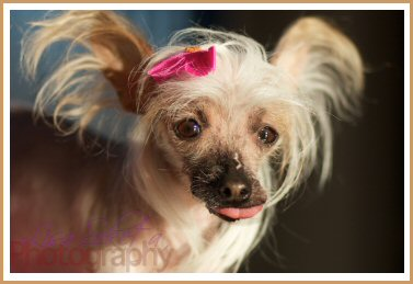 Chinese crested, chinese cresteds, dog, bow, light, licking