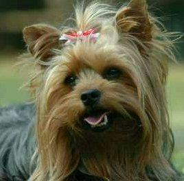 Ginger, Yorkshire terrier