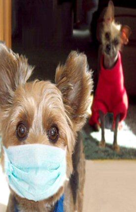 hypoallergenic dog wearing mask