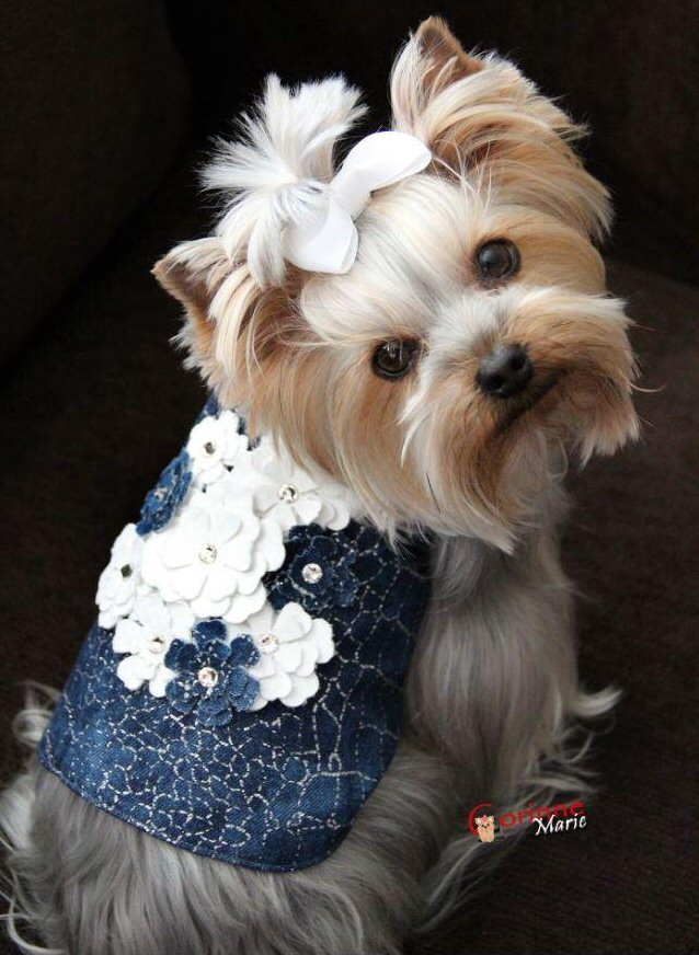 Jean vest dog jacket with leather flowers. Modeled by a cute Yorkshire Terrier looking up with white bow.