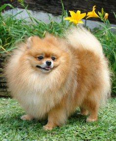 Teacup Pomeranian Full Size