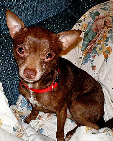 chihuahua, chi, rescue, adoptable