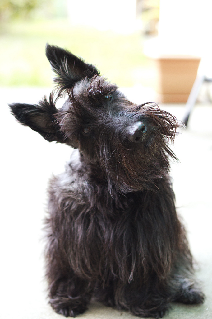Scottish Terrier, photograph by Kelly Hunter