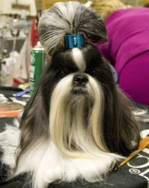 shih tzu, groomed, dog show, photo by: Audery_sel