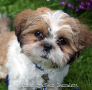 shih tzu, photo by samsaundersleed