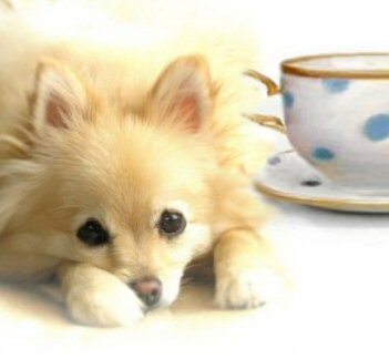 teacup Pomeranian, teacup puppies, teacup Pomeranian puppy