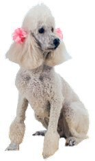 Miniature, Poodle, white, groomed, dog show